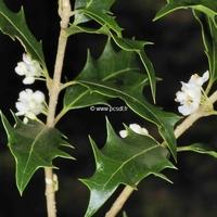 Osmanthus heterophyllus 40/50 C4L