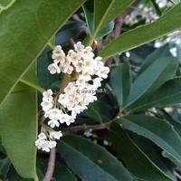 Osmanthus macrophyllus 40/50 C4L