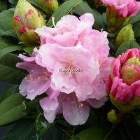 Rhododendron x yakushimanum 'Doc' 30/40 C5L
