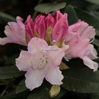 Rhododendron x yakushimanum 'Dreamland' 30/40 C4L