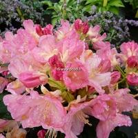 Rhododendron x yakushimanum 'Percy Wiseman' 30/40 C5L