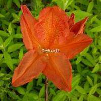 Rhododendron (azalée caduque) 'Saturnus' 50/60 C4L