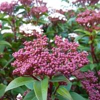 Viburnum tinus 'Spirit' ® 40/60 C4L