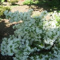 Rhododendron (azalée persistante) 'Adonis'