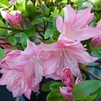Rhododendron (azalée persistante) 'Azuma-kagami'