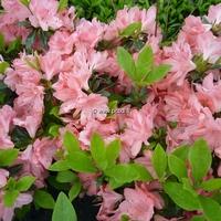 Rhododendron (azalée persistante) 'Blaauw's Pink'
