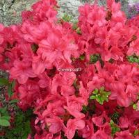 Rhododendron (azalée persistante) 'Fête des Mères'