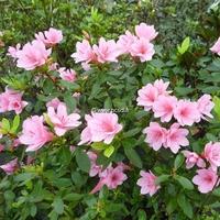Rhododendron (azalée persistante) 'Kirin'