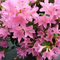 Rhododendron (azalée persistante) 'Sweet Briar' 40/50 C5L