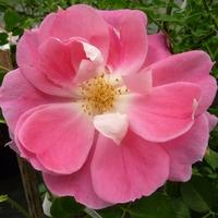 Rosa 'Dynastie' ® 30/60 C4L