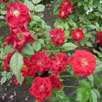 Rosa 'Fairy Rouge' 30/40 C4L