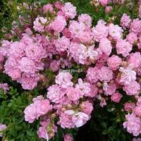 Rosa 'The Fairy' 30/40 C2,5L