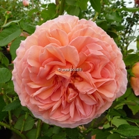 Rosa 'Abraham Darby' ® 40/60 C4L