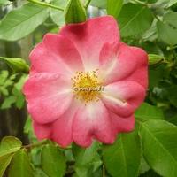 Rosa 'Marjorie Fair' ® 40/60 C4L