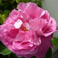 Rosa 'Paul Neyron' 40/60 C4L