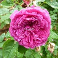 Rosa 'Yves Piaget' ® 40/60 C4L
