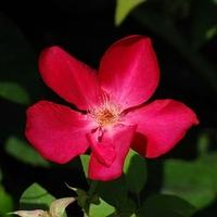 Rosa x odorata 'Sanguinea' 40/60 C4L