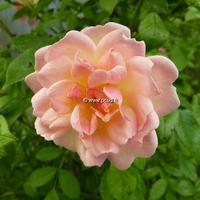 Rosa 'Phyllis Bide' 40/60 C4L