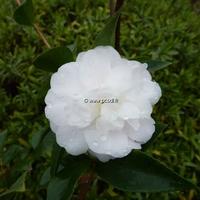 Camellia x 'Cinnamon Cindy' 40/60 C7L