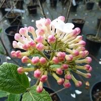 Viburnum carlesii 'Diana' 40/60 C4L