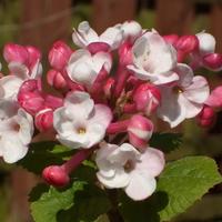 Viburnum carlesii 'Aurora' 30/40 C4L