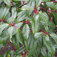 Viburnum davidii 'Angustifolium' 30/40 C4L