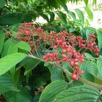 Viburnum plicatum 'Cascade' 40/60 C4L