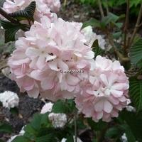 Viburnum plicatum 'Pink Sensation' 30/40 C4L