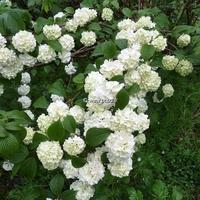 Viburnum plicatum 'Rotundifolium' 30/40 C4L