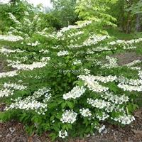 Viburnum plicatum 'Shasta' 30/40 C4L