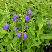 Salvia 'Blue Note' ® C3L