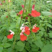 Salvia microphylla 'Hot Lips' C3L