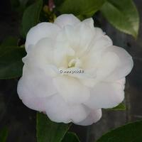Camellia x 'Cinnamon Cindy'