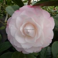 Camellia japonica 'Désire'