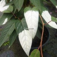 Actinidia tetramera var. maloides 40/60 C4L