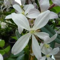 Clematis armandii 'Apple Blossom' 60/80 C4L