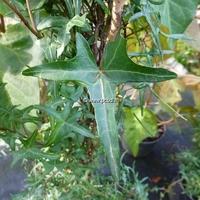 Hedera helix 'Sagittifolia' 30/40 C3L