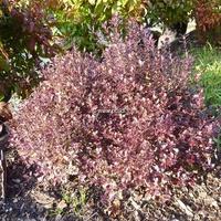 Pittosporum tenuifolium 'Tom Thumb' 30/40 C4L
