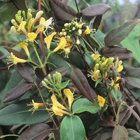 Lonicera henryi 'Copper Beauty' ® 40/60 C4L