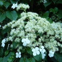 Hydrangea anomala ssp. petiolaris 40/60 C3L