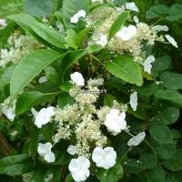 Hydrangea seemannii 40/60 C4L