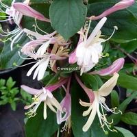 Lonicera japonica var. chinensis 40/60 C4L
