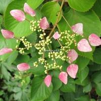 Schizophragma hydrangeoides 'Rose Sensation' ® 40/60 C4L