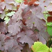 Vitis vinifera 'Purpurea' 40/60 C3L
