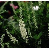Clethra alnifolia 'Sixteen Candles' 40/50 C4L