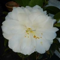 Camellia japonica 'Angel' 40/60 C5L