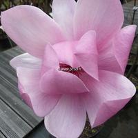 Magnolia 'Brixton Belle' 125/150 C10L
