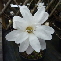 Magnolia stellata 80/100 C4L