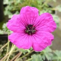 Geranium cinereum 'Giuseppii' C3L