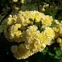 Rosa banksiae 'Lutea' 60/80 C4L